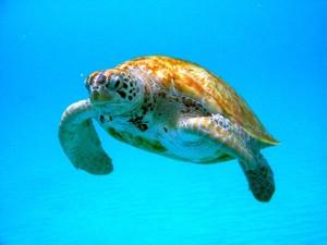 A Barbados turtle